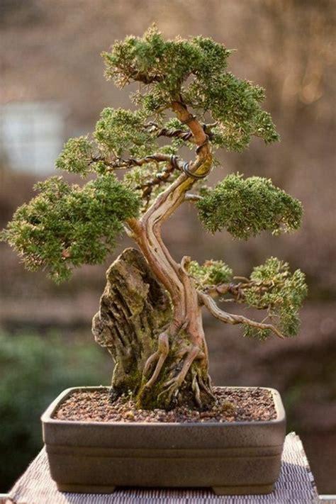 bonsai baum pflege bonsai baum kaufen und richtig pflegen einige wertvolle tipps