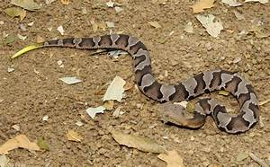 baby copperhead snake pictures pennsylvania