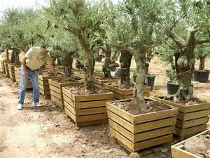 Planter Un Olivier En Pot : olivier pot en pot 80x80 ~ Dode.kayakingforconservation.com Idées de Décoration