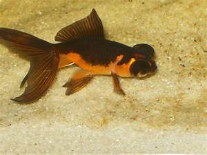 Orange and Black Moor? | AquariaCentral.com