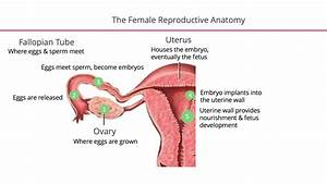 Uterus Fallopian Tubes Diagram
