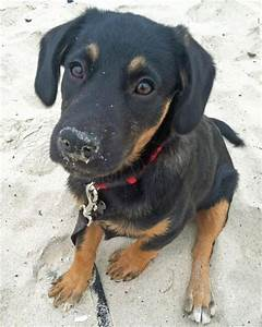 Best 25+ Rottweiler mix ideas on Pinterest | Rottweiler ...