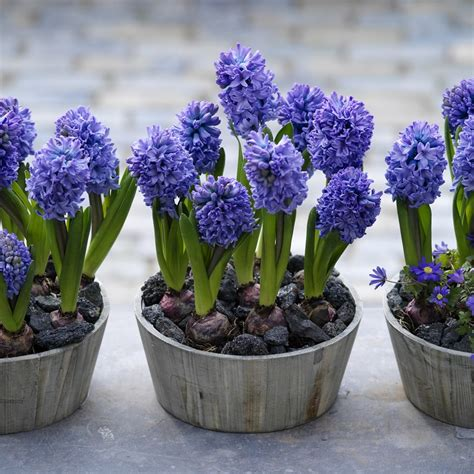 Buy garden hyacinth bulbs Hyacinthus orientalis 'Delft
