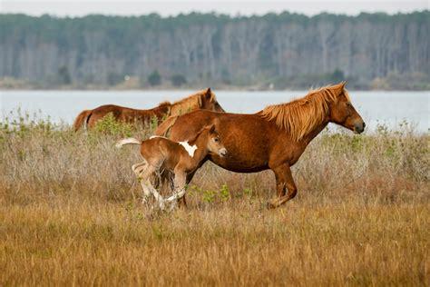 assateague horses island november wild national park seashore horse maryland nps census service rocky jq grand population lisa herd gov