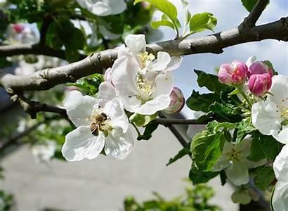 Apple Blossom Wallpapertag