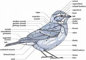 A Diagram Of The Morphology Of A Bird  Labeling Different
