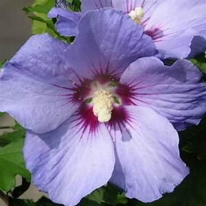 Taille De L Hibiscus : acheter alth a hibiscus oiseau bleu pas cher au ~ Melissatoandfro.com Idées de Décoration