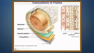 Transport Of Water In The Xylem Of Plants Part 1  Introduction