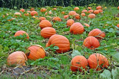 Garden Tech Support Tuesday  Pumpkins!  Gardening Austin