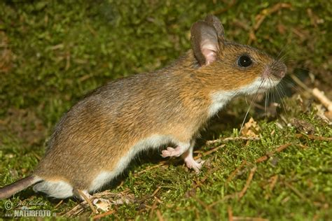 show me pictures of mice yellow necked field mouse photos yellow necked field mouse images nature wildlife pictures