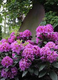 full shade shrubs Flowering Shrubs for Shade Gardens | HGTV