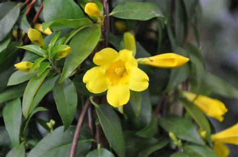 yellow flower vines pictures uf sfrc 4 h yellow jessamine