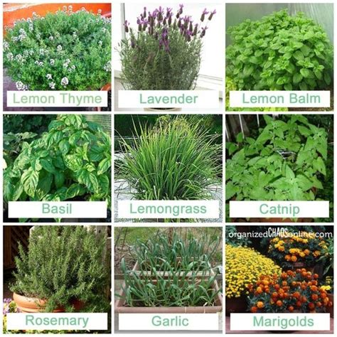 plants that mosquitoes stuff to plant that mosquitos hate garden and compost pinterest decks backyards and