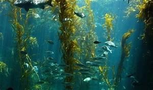 The Bigger The Predator  The Safer The Kelp