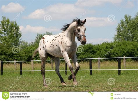 horse young stallion appaloosa royalty  stock