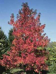 Amberbaum Oktoberglut Preis : liquidambar styraciflua 39 worplesdon 39 amberbaum ~ Michelbontemps.com Haus und Dekorationen