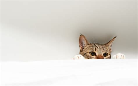 hide cat wallpaper  doantrangnguyen revelwallpapersnet