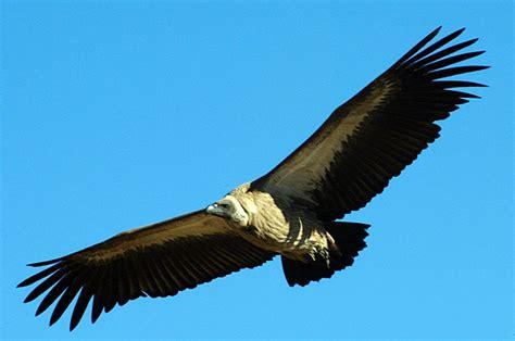 Botswana 2001 - White Backed Vulture
