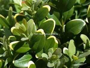 Oleander Hat Gelbe Blätter : krankheiten gelbe bltter kranke krankheiten gelbe bltter ~ Lizthompson.info Haus und Dekorationen
