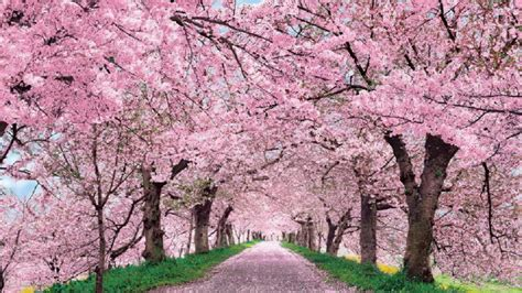Cherry Blossom Desktop Wallpaper
