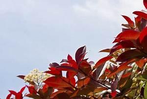 Red Robin Baum : photinia red robin glanzmispel richtig gepflegt ~ Frokenaadalensverden.com Haus und Dekorationen