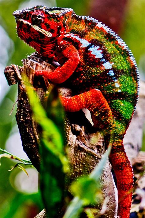 colorful lizards  colorful animals photography
