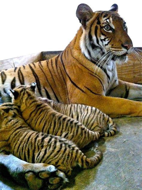 endangered tiger cub trio born  busch gardens tampa