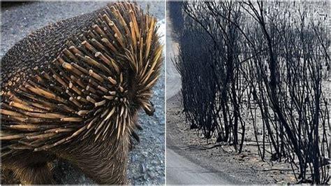 เผยภาพถ่ายที่ชวนปวดร้าวใจ เมื่อ 'ตัวกินมดหนาม' ถูกไฟป่าเผา ...