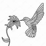 Hummingbird Coloring Adults Vector Flower Drawing Bird Hummingbirds Adult Flowers Kleurplaat Goku Christ Christmas Illustration Tribal Getdrawings Beija Colorir Flor sketch template