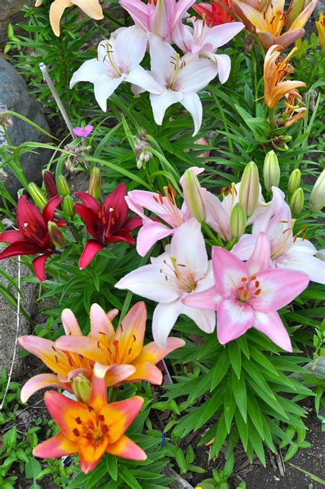 tips for growing beautiful lilies beautiful sun and tips