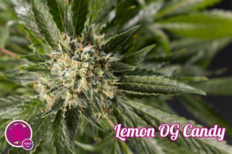 lemon og candy philosopher seeds