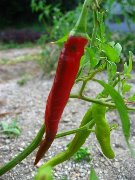 Chili Peppers Too Mild Why Are My Chilies Not Getting Hot