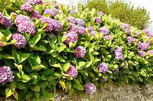 Welche Pflanzen Passen Gut Zu Hortensien : hortensien gr e wie gro werden die str ucher ~ Lizthompson.info Haus und Dekorationen