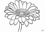 Coloring Daisy Gerbera Printable Drawing sketch template