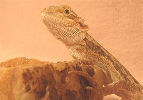 what kind of heat l for bearded dragon file bearded dragon baby junii jpg wikimedia commons