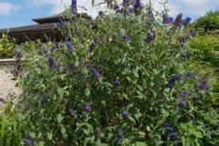 Sträucher Als Sichtschutz : kletterpflanzen f r den sichtschutz diese kommen infrage ~ Whattoseeinmadrid.com Haus und Dekorationen