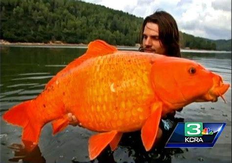 monster goldfish apocalypse     fault