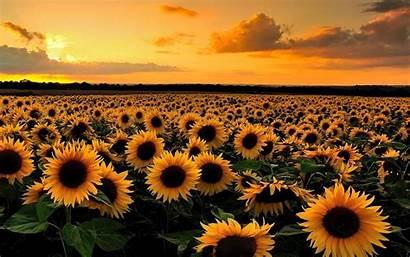 Field Wallpapers Sunflower Desktop Sunset 1920 Background
