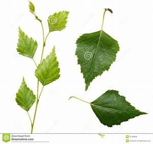 Branche De Bouleau : jeunes branche et feuilles de bouleau image stock image ~ Melissatoandfro.com Idées de Décoration