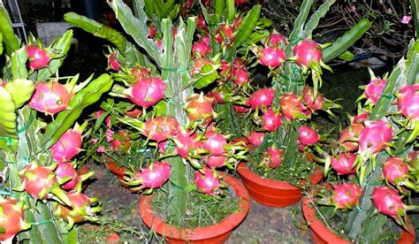 menanam buah naga  pot  berbuah lebat