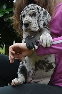 Harlequin Great Dane Puppy! | Animals | Pinterest