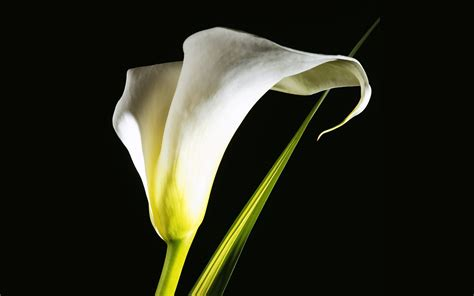 calla lilie calla wallpaper 10905