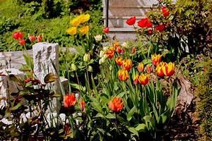 Tulpen Im Garten : verwendung der tulpen garten wissen ~ A.2002-acura-tl-radio.info Haus und Dekorationen