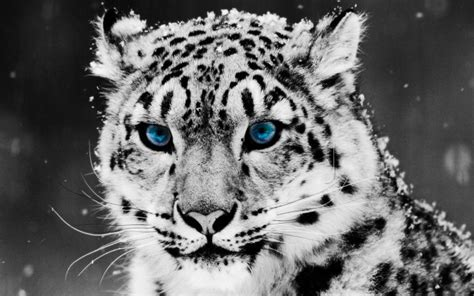 beautiful white leopard  blue eyes