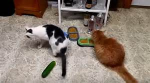 cat cucumber are scaring their cats with cucumbers they shouldn t
