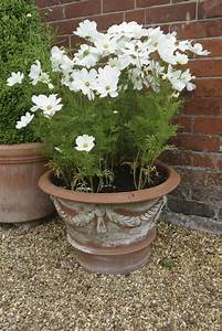 Potted, Cosmos, Flowers