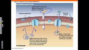 Chapter 3 Part 1 Cell Theory Plasma Membrane Diffusion And