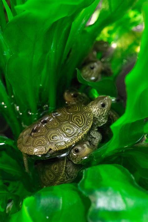 terrapin hatchlings  ready  school zooborns