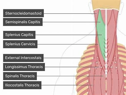 Capitis Posterior Splenius Semispinalis Muscle Muscles Thoracis