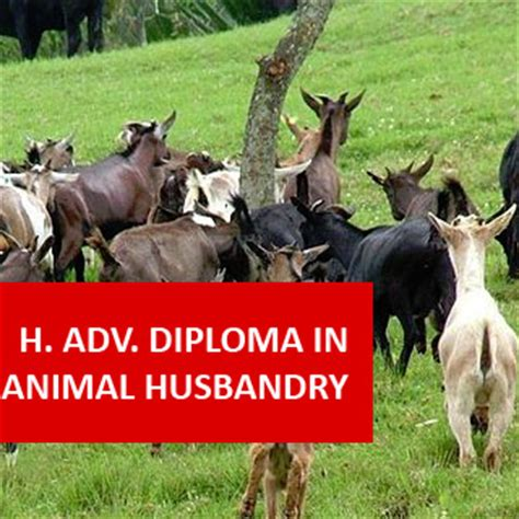 higher advanced diploma  agriculture animal husbandry